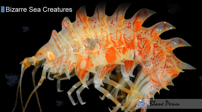 oceanography facts amphipods