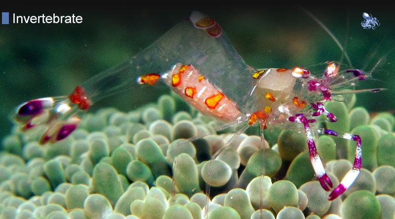 Anemone Shrimp from Blane Peruns TheSea