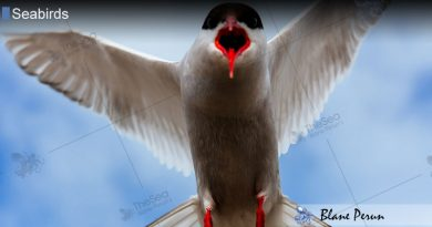 Arctic Tern Travels From Pole to Pole
