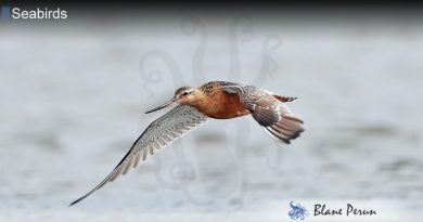 A Godwit Can Fly for Nearly 7,000 Miles Without Stopping
