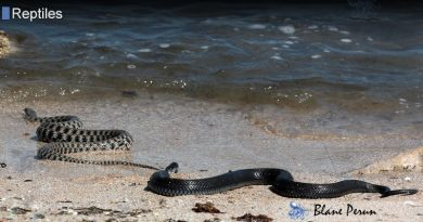 Beaked  Sea Snake Is 4x More Deadly Than a Cobra
