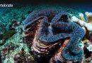 Coral Reef Bivalves