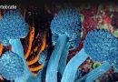 Blue Lollipop Tunicate