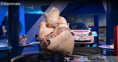 A Blue Whales Heart Is As Big As a Small Car