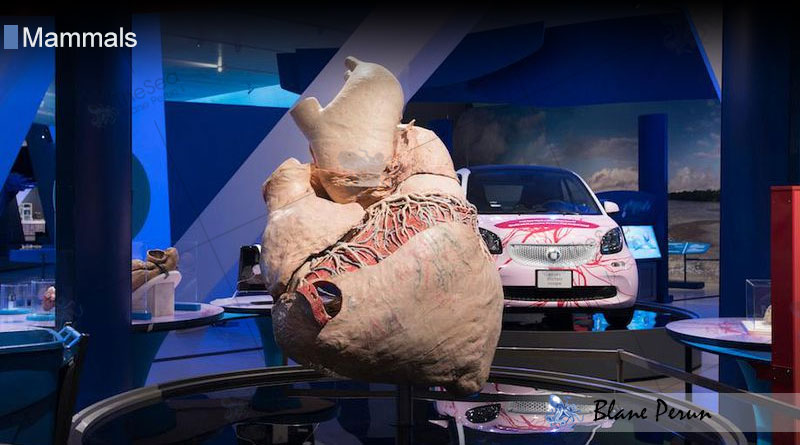 A Blue Whales Heart Is As Big As a Small Car from Blane Peruns TheSea.Org