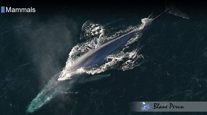 Call of the Blue Whale Is 188 Decibels from Blane Peruns TheSea.Org