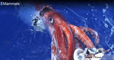 Colossal Squid Digest Food with Their Brains