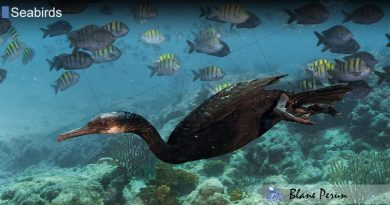 Cormorants Dive 100 Feet Below Water