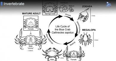 Crab Life Cycle