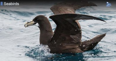 Diving Petrels