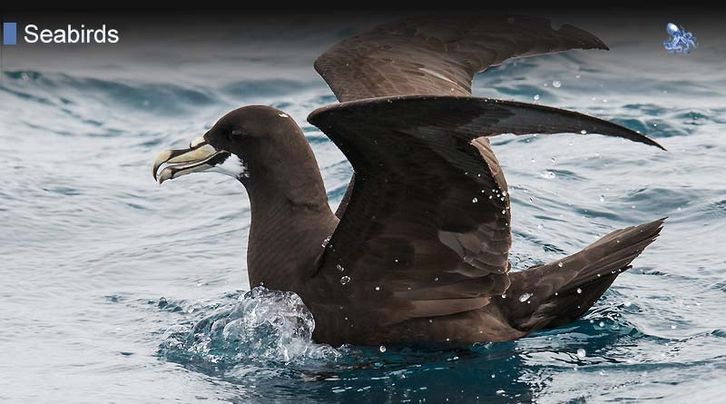 Diving Petrels from Blane Peruns TheSea
