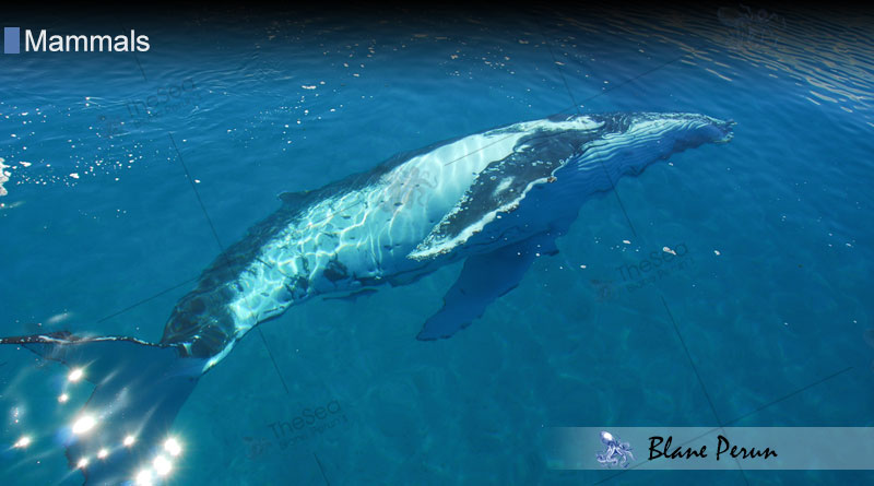 Do Humpback Whales Travel In Pods from Blane Peruns TheSea.Org