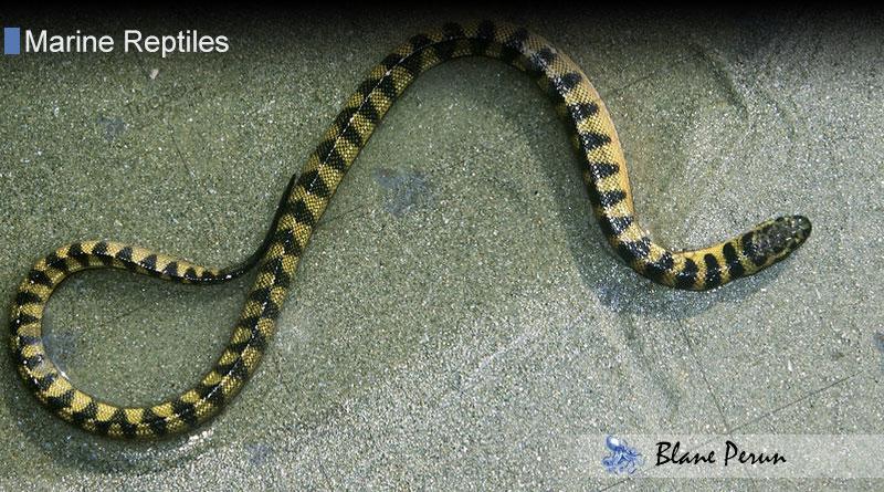 Dwarf Sea Snake from Blane Peruns TheSea