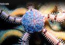 Reef Echinoderms