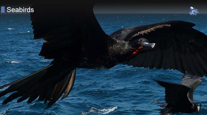 Frigatebirds from Blane Peruns TheSea