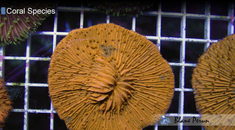 Fungia from Blane Peruns TheSea