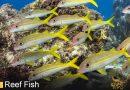 Goatfish – Mullidae