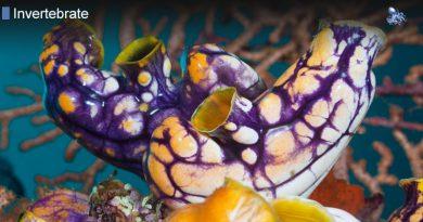 Golden Sea Squirt
