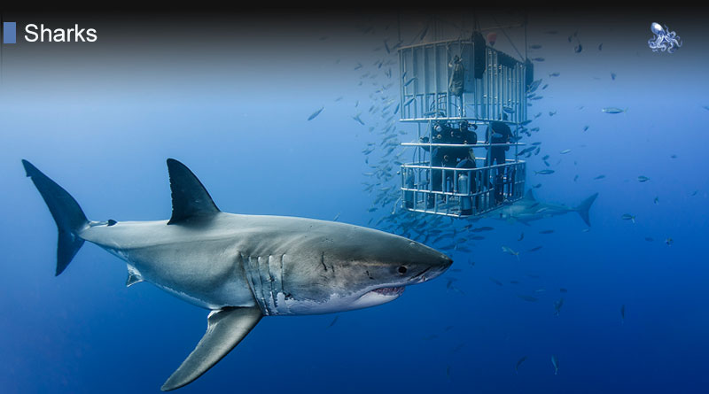 Great White Shark at Blane Peruns TheSea