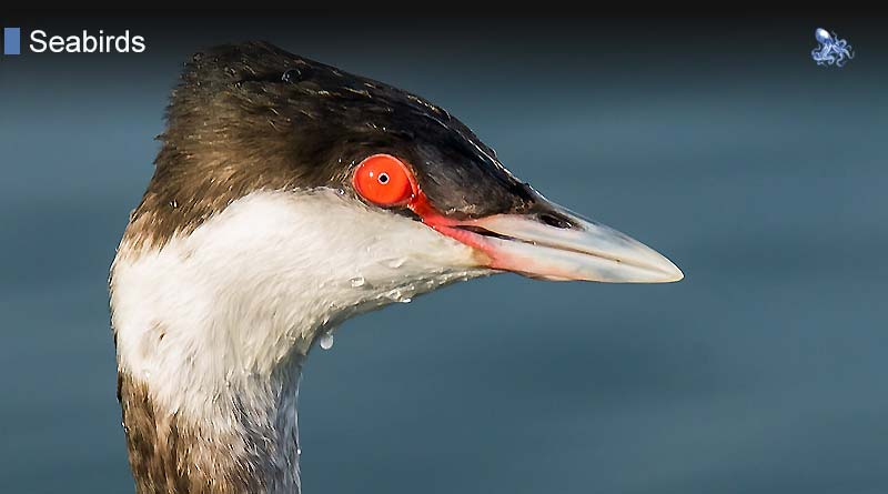Grebes from Blane Peruns TheSea