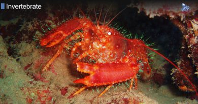 Hawaiian Reef Lobster