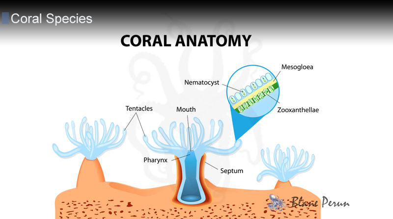 How Do Coral Polyps Eat from Blane Peruns TheSea.Org