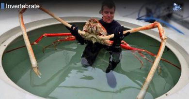 Japanese Spider Crab Largest in The World