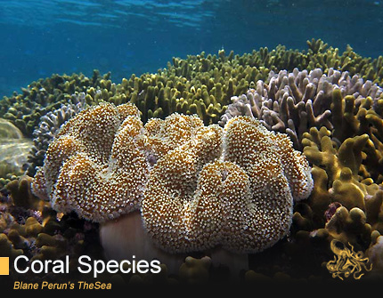 Leather Coral Care from Blane Peruns TheSea