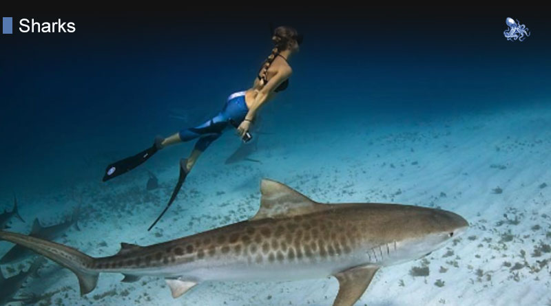 Lifespan Of A Shark from Blane Peruns TheSea