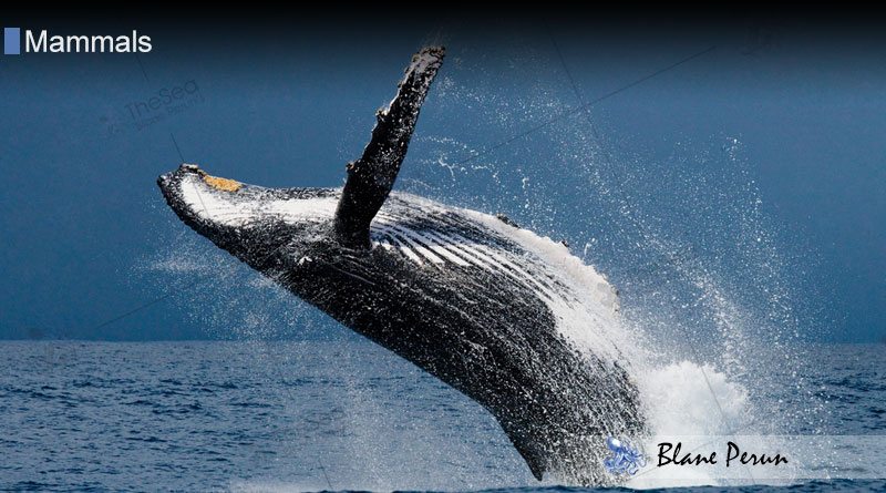 Marine Mammals Use 75% of Their Lungs We 10% from Blane Peruns TheSea.Org