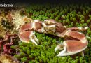 Coral Reef Crabs