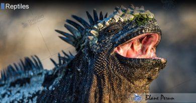 Marine Iguanas Sneeze