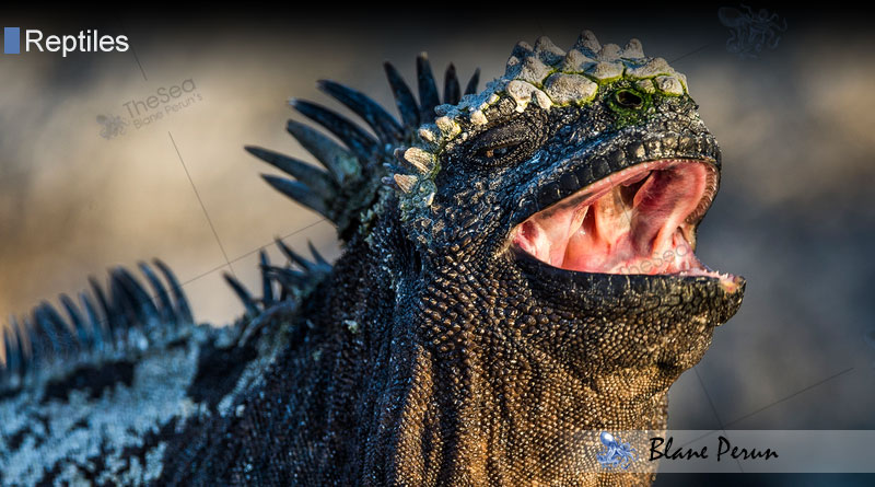 Marine Iguanas Sneeze From Swallowing Saltwater from Blane Peruns TheSea