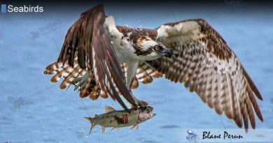 Ospreys Live on Every Continent Besides Antarctica