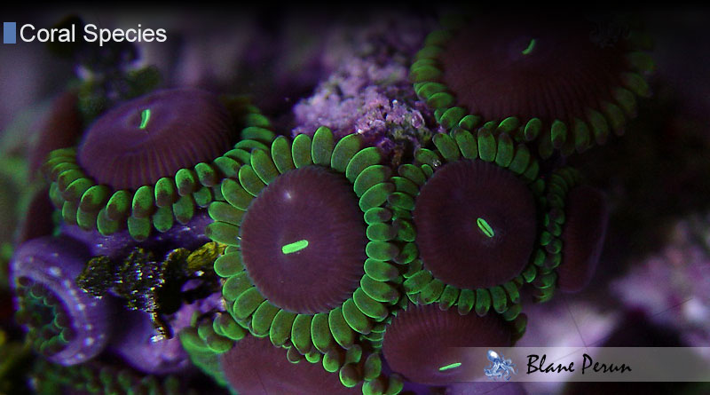Peruns Purple People Eater and more about zoanthids