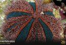 Pincushion Urchin