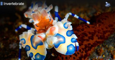 Reef Shrimp
