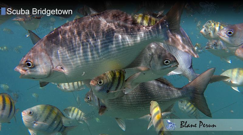 Scuba Diving Bridgetown 11/17