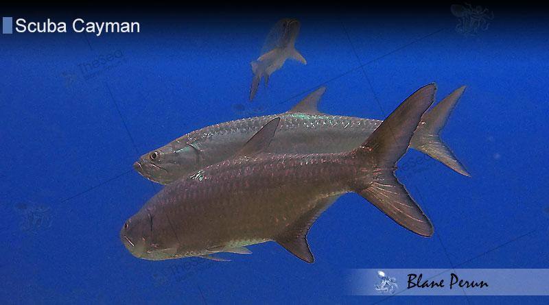 Scuba Diving Cayman 7/13