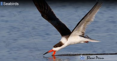 Seabirds Drink Only Sea Water