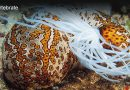 Reef Sea Cucumber