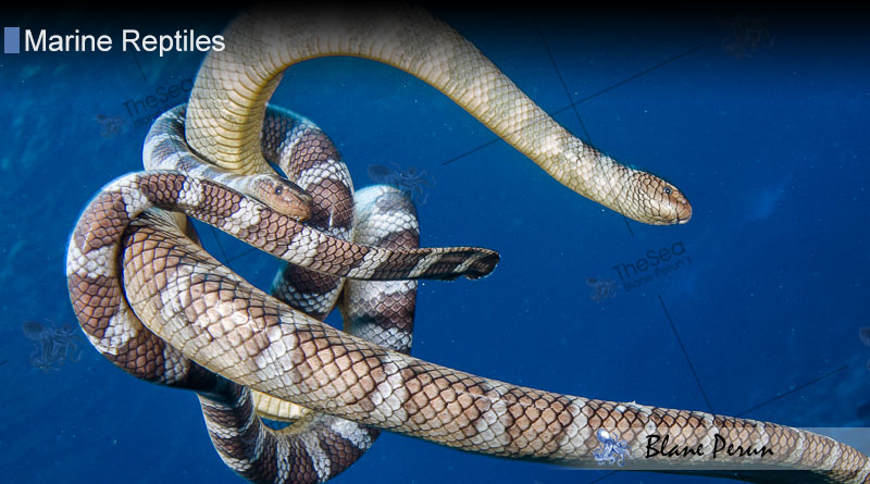 Sea Snakes from Blane Peruns TheSea