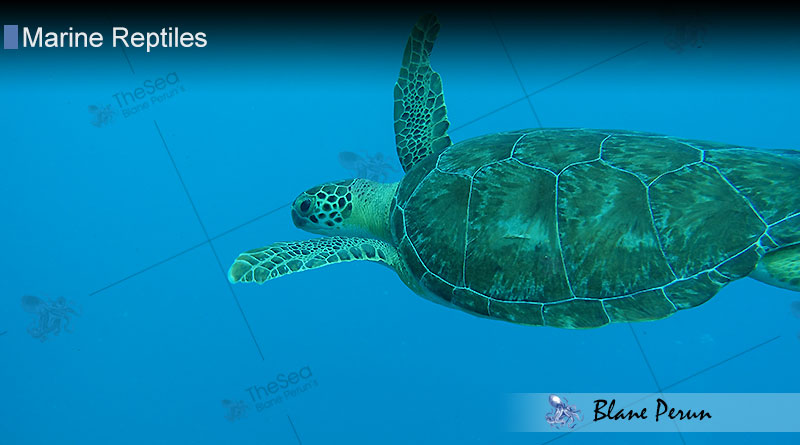 Sea Turtles Spend Their Entire Lives at Sea from Blane Peruns TheSea