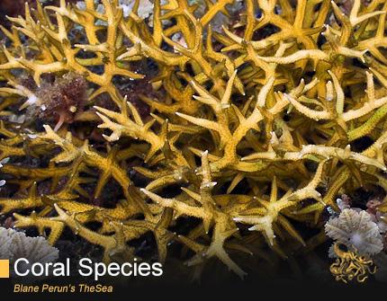 Seriatopora from Blane Peruns TheSea