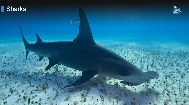 Shark Habitat from Blane Peruns TheSea