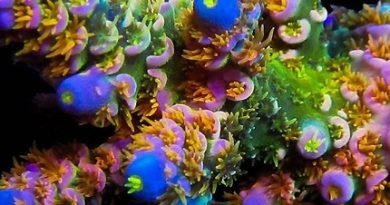 Small-Polyp Stony Corals