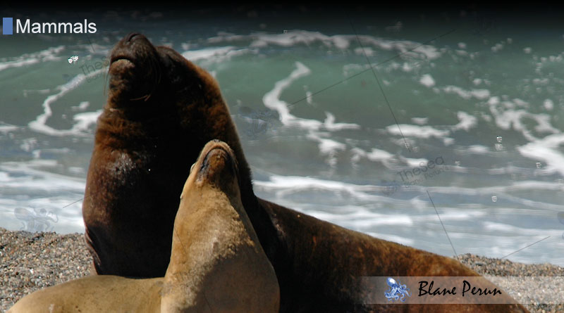 South American Sea Lion from Blane Peruns TheSea