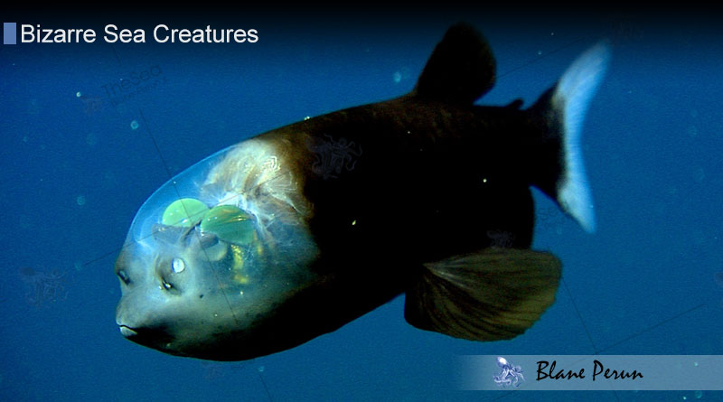 Spook Fish from Blane Peruns TheSea