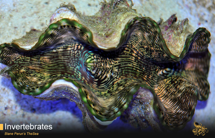 Squamosa Clam from Blane Peruns TheSea