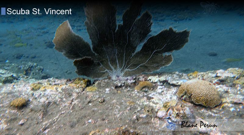 Scuba Diving St Vincent 11/17